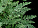 Cheilanthes tomentosa  - Woolly Lip Fern