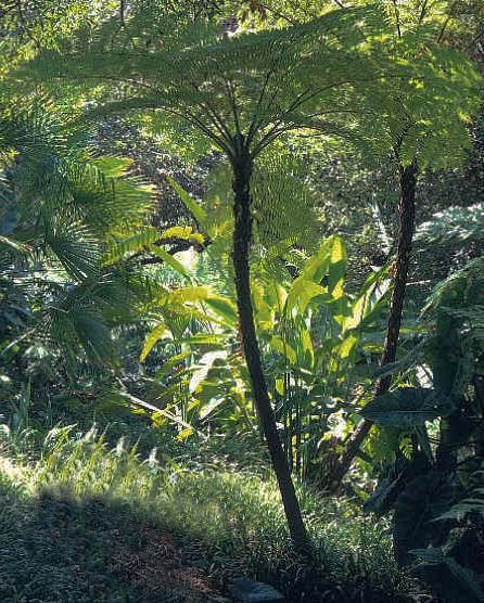Cyathea cooperi 'Brentwood' - Australian Tree Fern 9cm £7.95