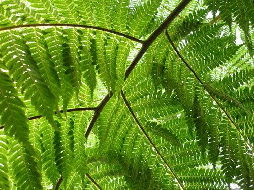 Cyathea australis - Rough Tree Fern