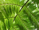Cyathea australis - Rough Tree Fern