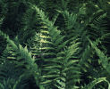 Dryopteris celsa - Log Fern