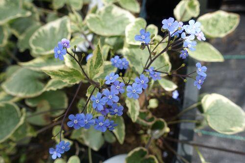 Brunnera macrophylla 'Hadspen Cream' for sale Ireland