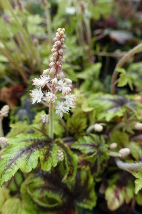 Tiarella 'Jeepers Creepers' for sale Ireand