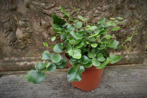 Pellaea rotundifolia - Button Fern 9cm €4.95