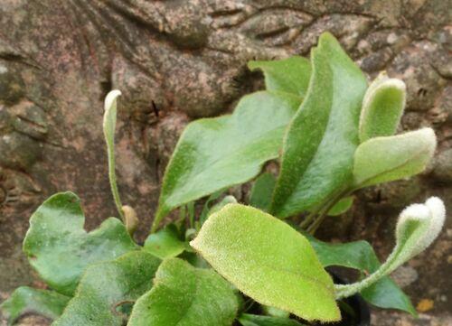 Pyrrosia lingua 'Yabane' plug plant €6.95