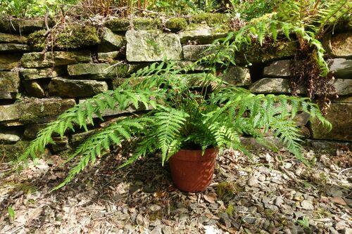 Dicksonia antarctica - Smooth Tree Fern 2 litre €16.95
