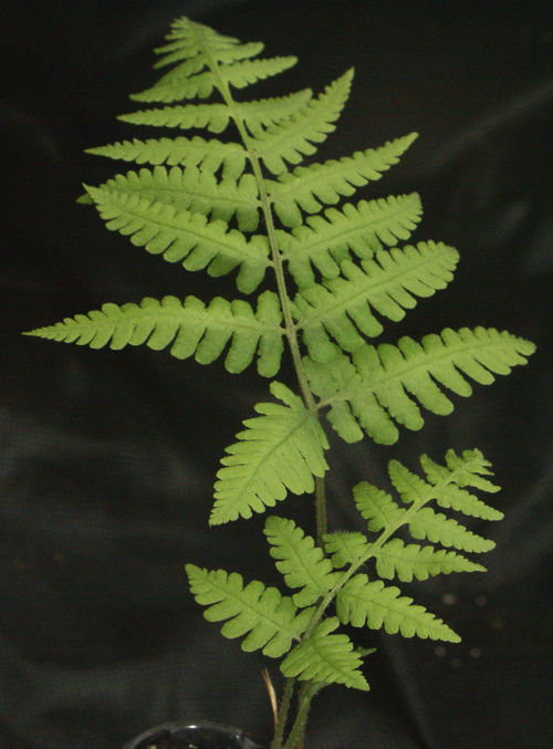 <i>Deparia okuboana</i>-japanese Glade Fern Out of Stock