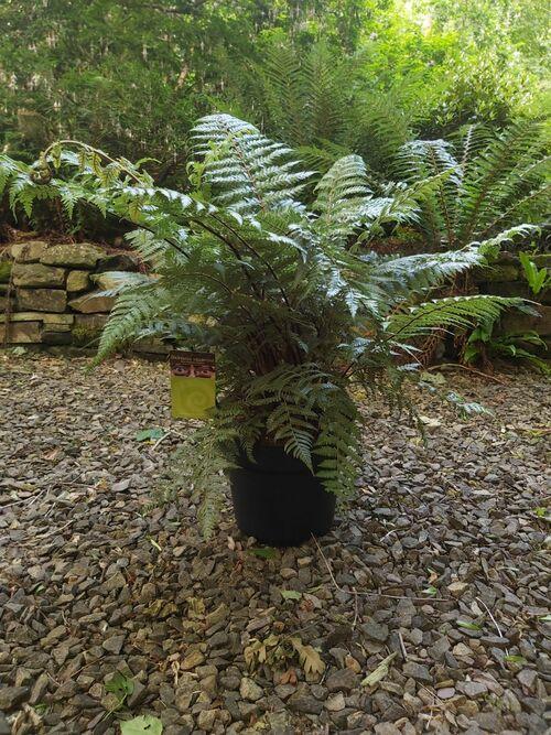 Dicksonia squarrosa 24cm pot (5-6 litre) €75