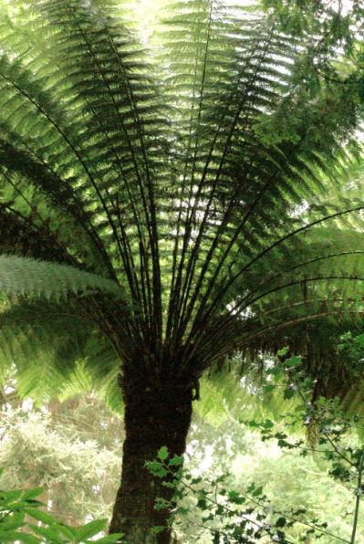 Dicksonia antarctica - Smooth Tree Fern 9cm £5.95