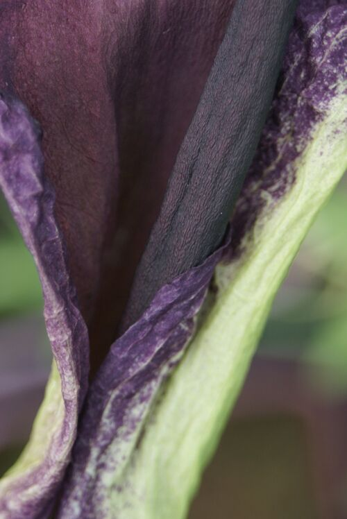 Dracunculus vulgaris plant in 9cm pot £5.95