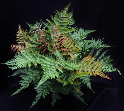Dryopteris erythrosora 'Radiance'-  Radiant Autumn Fern