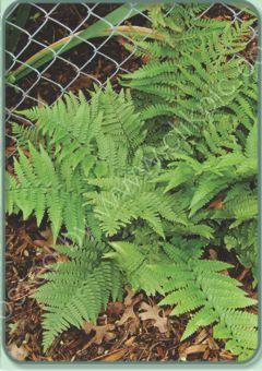 Dryopteris pulcherrima - Beautiful Wood Fern