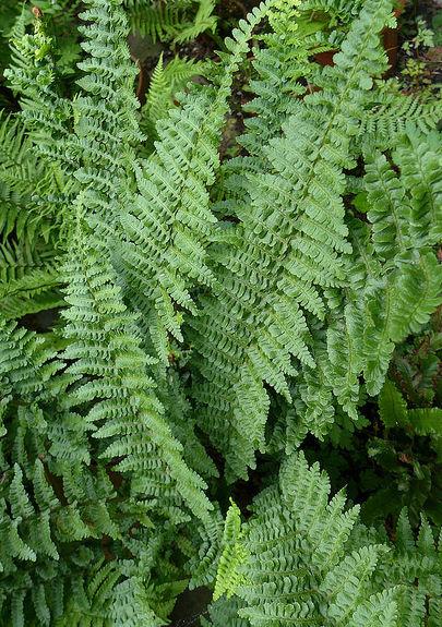 <i>Dryopteris affinis </> Stableri 9cm £4.95