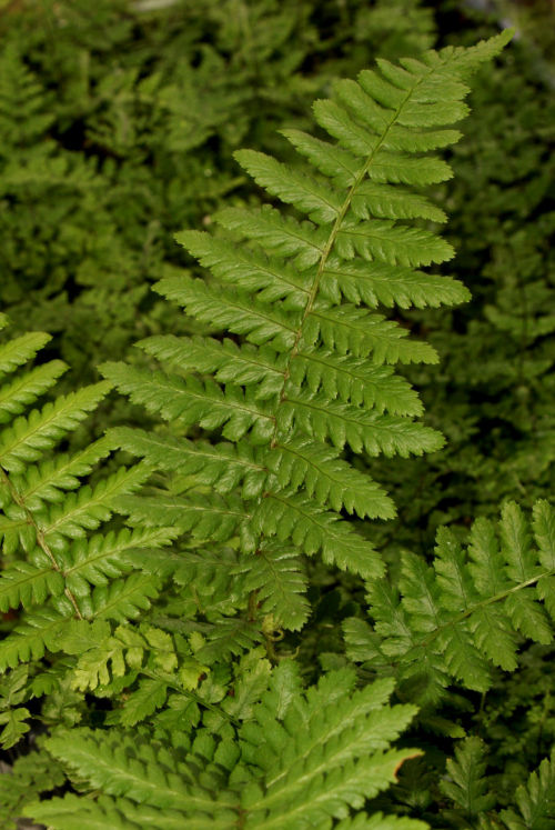 <i>Dryopteris affinis</i> subsp. <i>Cambriensis</i> 'Insubrica'