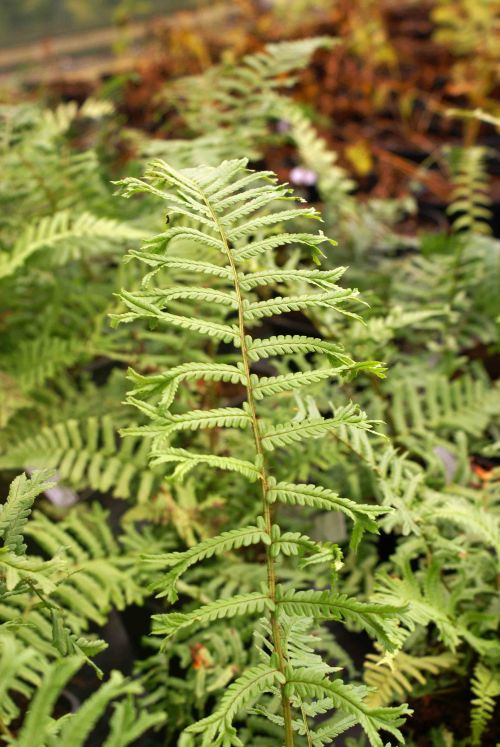 Dryopteris affinis  'Polydactyla Dadds' Many Fingered Male Fern 9cm £3.95