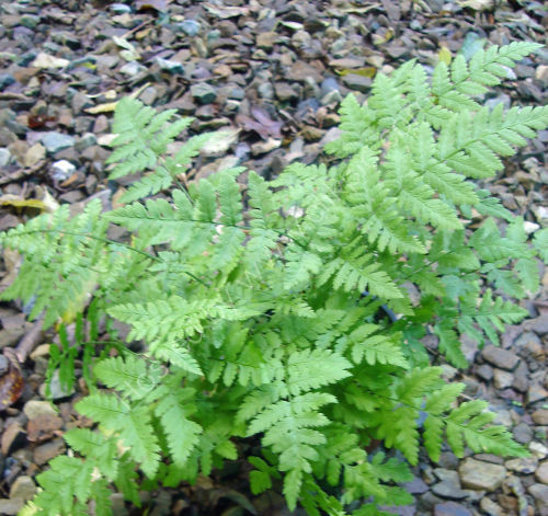 Dryopteris carthusiana - Narrow Buckler Fern 9cm £3.95