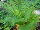 Dryopteris x complexa - Robust Wood Fern 9cm £4.95