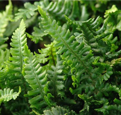 Dryopteris affinis  'Crispa Gracilis' 9cm £3.95