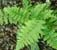 Dryopteris filix-mas - Male Fern plug £2.50