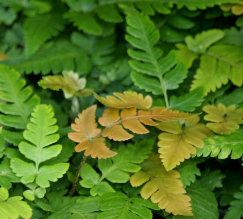 Dryopteris labordeii- Golden Mist Wood Fern