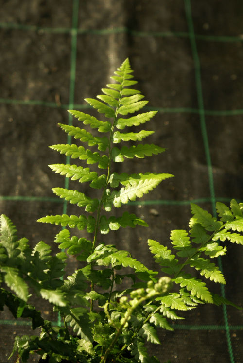 Dryopteris ludoviciana - Southern Wood Fern