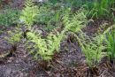 Dryopteris stewartii - Stewarts Wood Fern