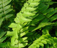 Dryopteris cycadina (syn. Dryopteris atrata) 9cm £3.95