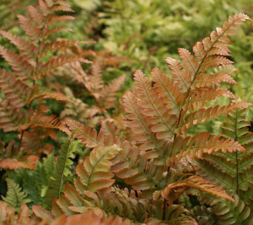 Dryopteris erythrosora  Rosy Buckler Fern 9cm £3.95