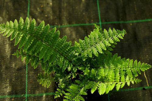Dryopteris pycnopteroides - Japanese Wood Fern 9cm £5.50