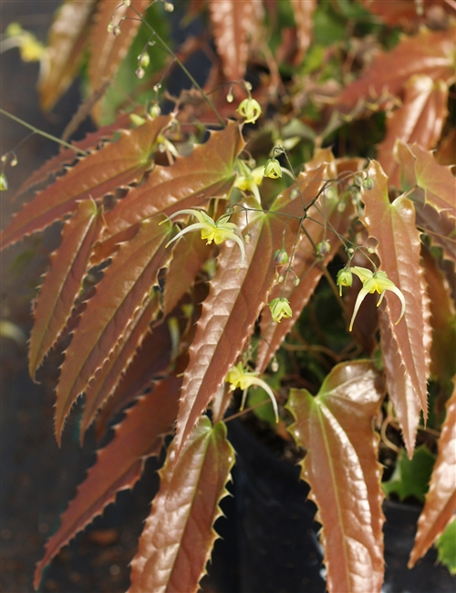 Epimedium spp. 'Spine Tingler'