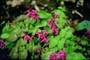 Epimedium grandiflorum 'Rose Queen'