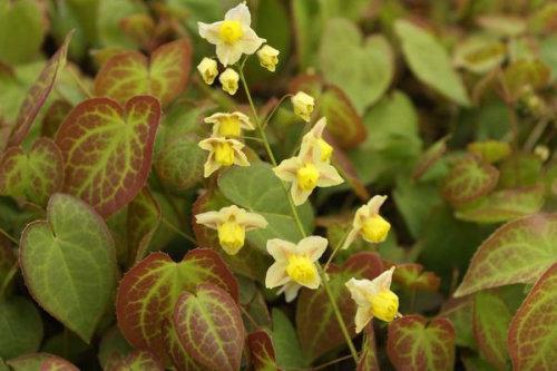 Epimedium x versicolor 'Sulphureum' Sold out