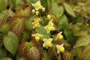 Epimedium x versicolor 'Sulphureum' 9cm £5.95