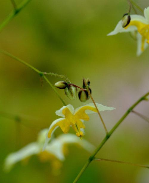 Epimedium 'Mandarin Star'