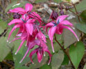 Epimedium grandiflorum 'Red Beauty'  9cm £5.95