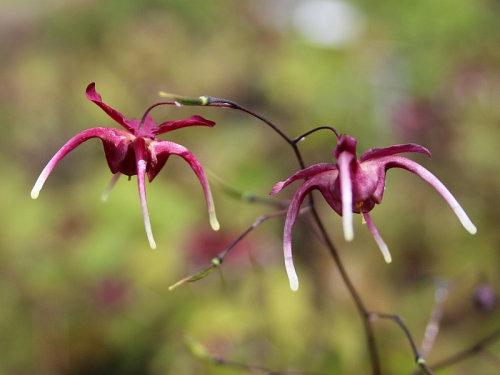 Epimedium grandiflorum 'Shiho' sold out