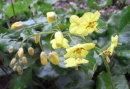 Epimedium pinnatum ssp. Colchicum 9cm £5.95