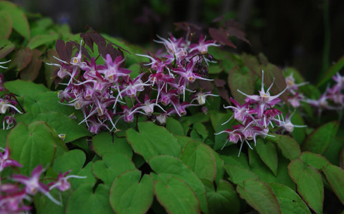 Epimedium grandiflorum -'Purple Pixie' sold out