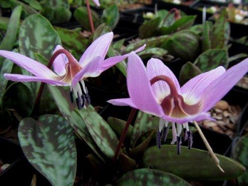 Erythronium dens-canis 'Purple King' 9cm £5.95