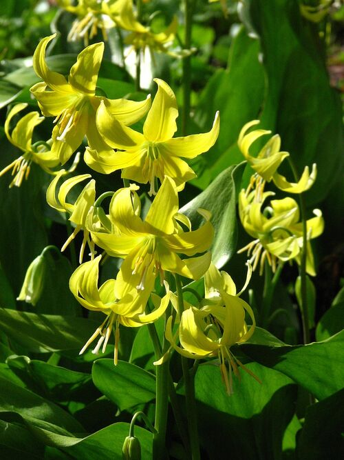 Erythronium 'Pagoda' flowering size 1 litre pot €5.95.