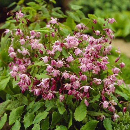 Epimedium x youngianum 'Roseum' 1 litre £7.95