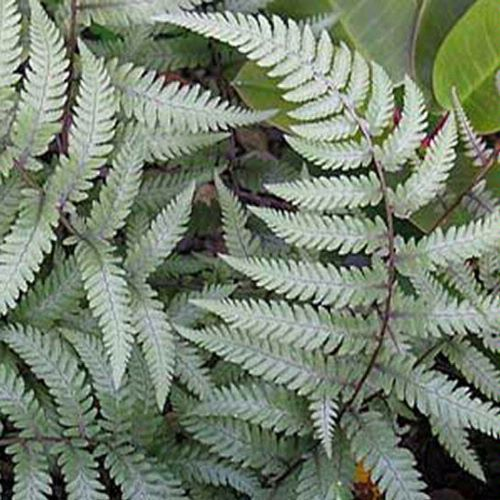 Athyrium 'Branford Beauty' Sold Out