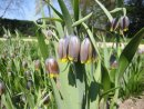 Fritillaria uva-vulpis bulbs 10 for £2.50