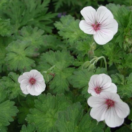 Geranium 'Coombland White'