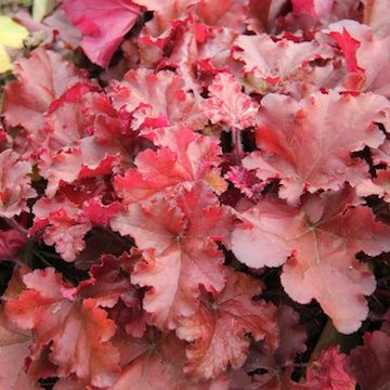 Heuchera 'Boysenberry' 9cm £5.95