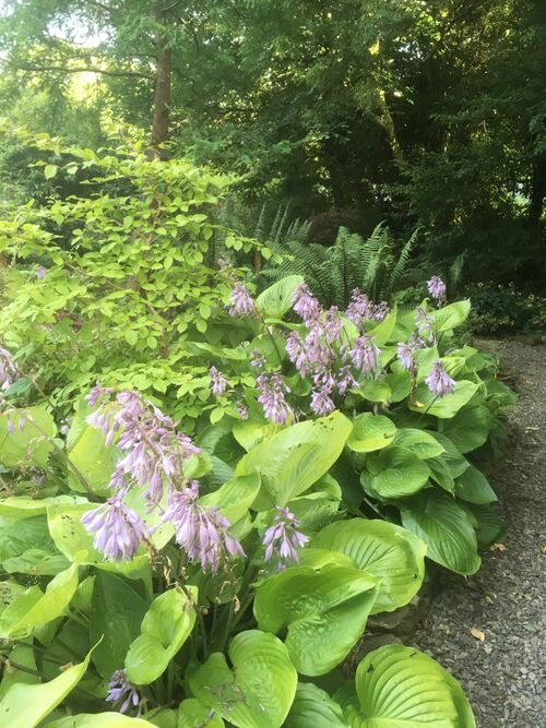 Hosta 'Sum and Substance' Jumbo plug €3.95