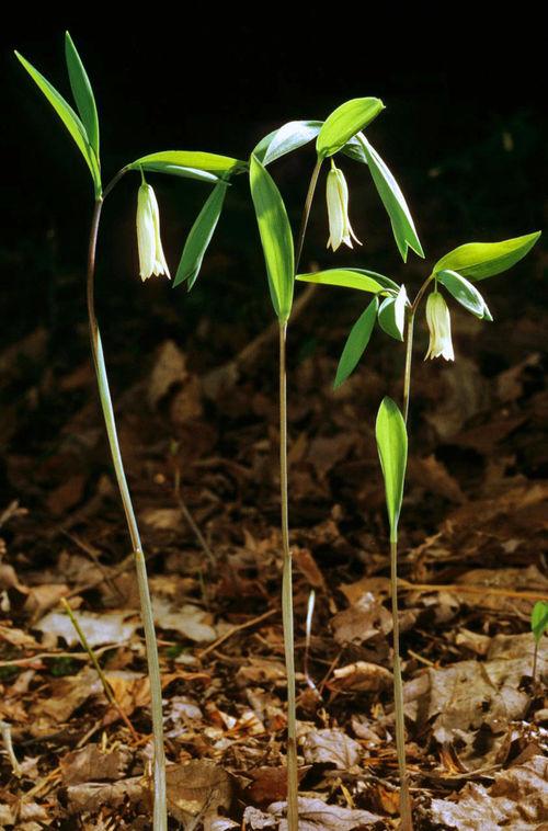 Uvularia sessilifolia 9cm £4.95