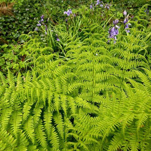 Athyrium filix-femina - The Lady Fern fern for sale in Ireland
