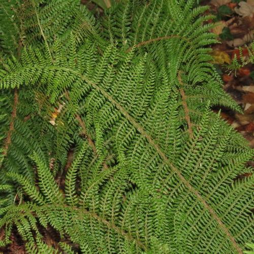 <i>Polystichum setiferum</i> Divisilobum Group