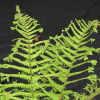 Dryopteris affinis 'Cristata The King' AGM King of the Ferns 9cm £3.95